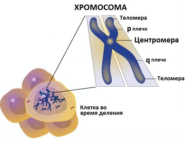 Chromosomes other than sex chromosomes are autosomes